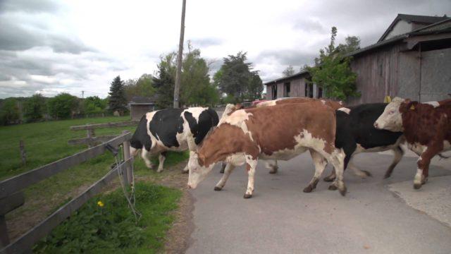 Krávy se radují ze svobody